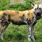 Scientists Are Saving Africa's Wild Dogs…With Urine