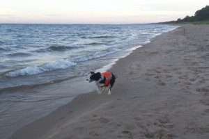 Border Collie patrolling the shore of Lake Michigan - Elizabeth Alm