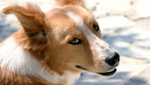 dogs detect prostate cancer