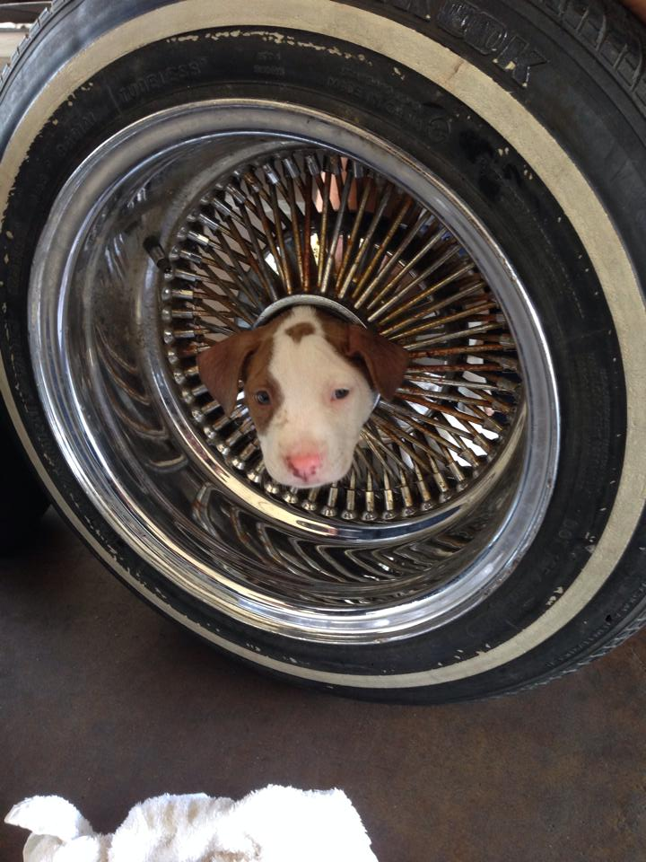 puppy with head stuck in wheel