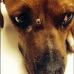 Dog Returns Home with 3 Gunshots Wounds