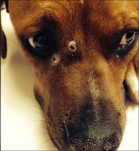 Dog returns home with 3 gunshot wounds