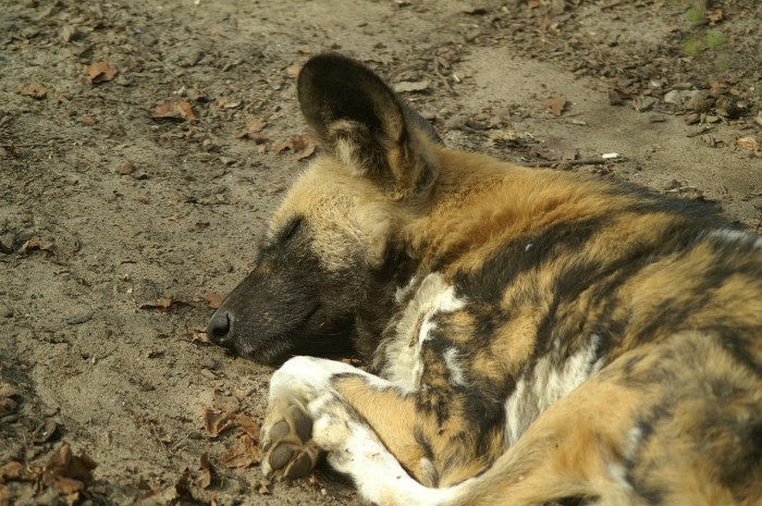 saving africa's wild dogs