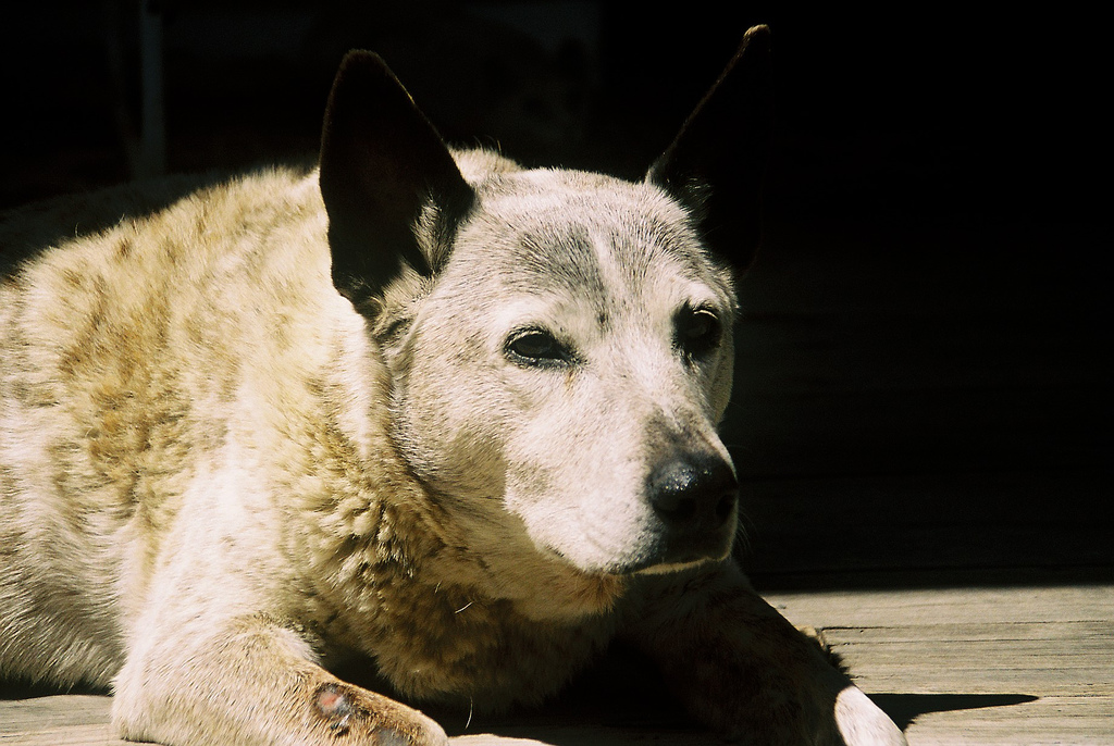 old cattle dog