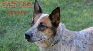 Sweet Cattle Dog Found Her Forever Home – Adopted