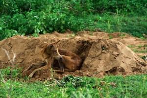 loyal dog stays by grave