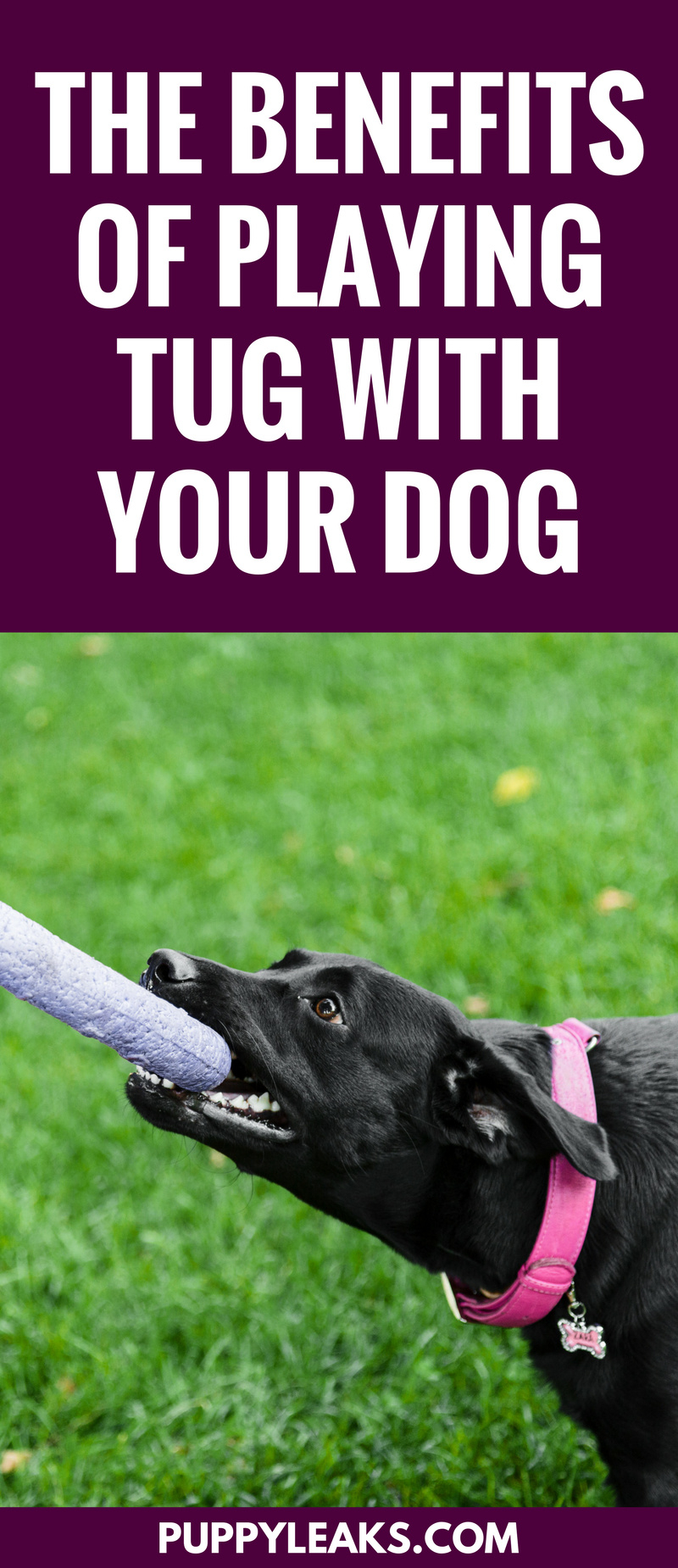 The benefits of playing tug of war with your dog. #dogs #dogtips #dogexercise