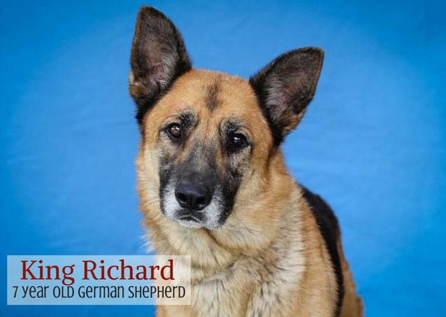richard adoptable german shepherd michigan