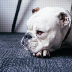 What Have We Done To Bulldogs? When Breeding Goes Awry