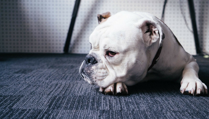 Unethical Breeding Has Done To Bulldogs