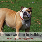 bulldog breeding for beginners beginners guide to lure coursing puppy leaks 5767