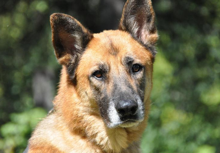 adoptable german shepherd