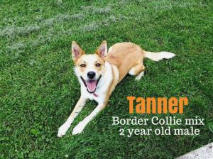 tanner border collie mix michigan