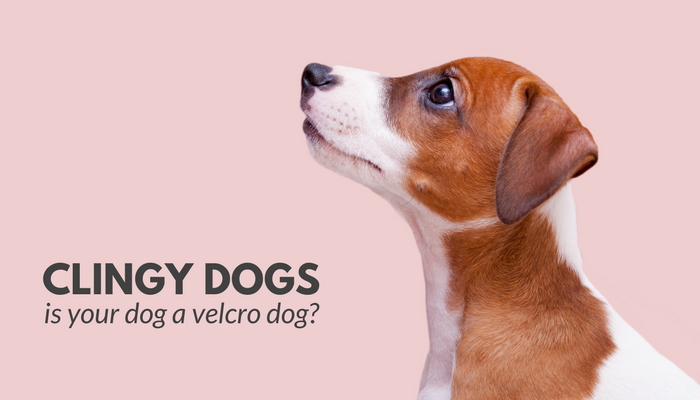 Clingy Dogs: Is Your Dog a Velcro Dog