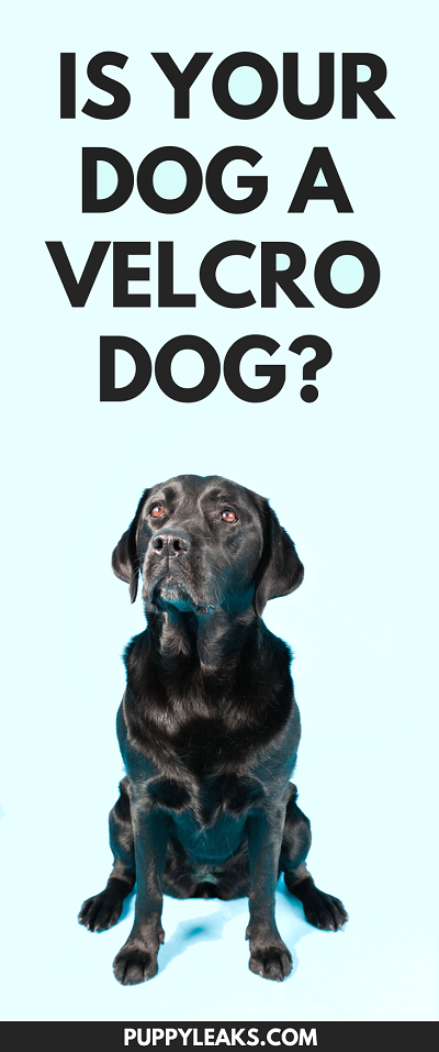 Clingy Dogs: Is Your Dog a Velcro Dog? - Puppy Leaks