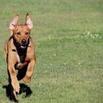 Beginners Guide to Lure Coursing for Dogs