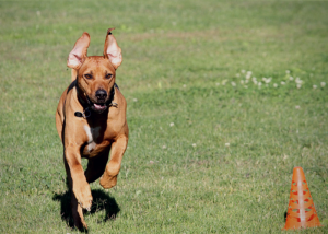 The Beginners Guide to Lure Coursing for Dogs