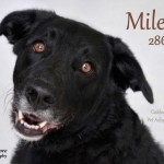 Meet Miles – Sweet Lab Seeking Forever Home – Adopted