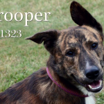 Meet Trooper the Shepherd Mix