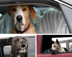 dog love cars