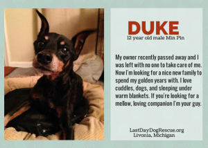 duke the min pin adoptable in michigan