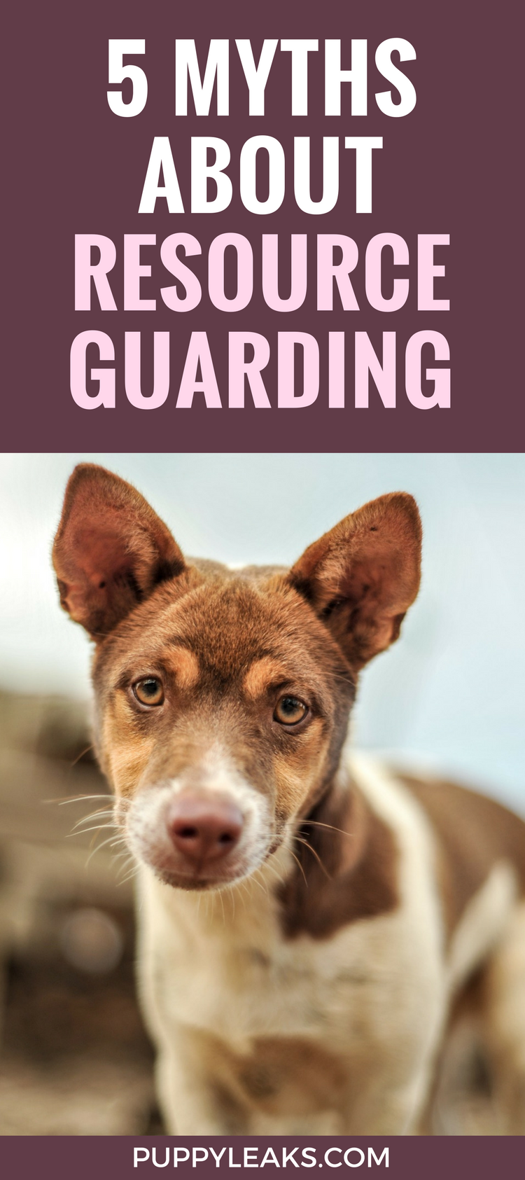 Does your dog get possessive of his food or toys? Here's 5 myths about resource guarding in dogs, and tips on how to manage it.