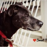 Sweet Older Lab Seeks Forever Home