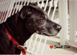 sweet older lab seeks home