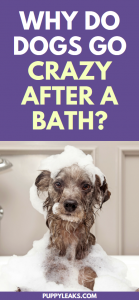 Why do dogs go crazy after a bath