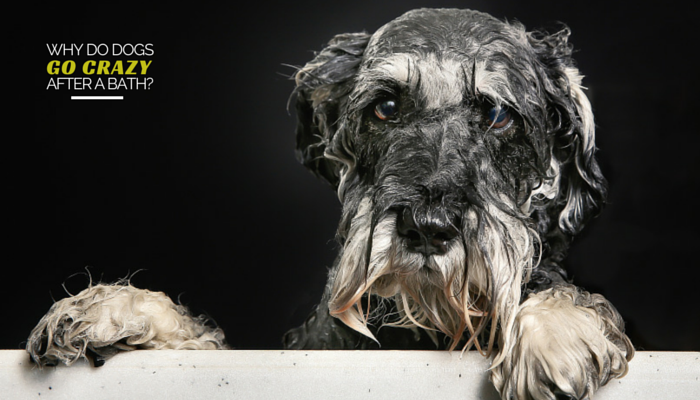 Why do dogs go crazy after a bath puppy leaks running around after a bath solutioingenieria Image collections
