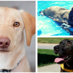 Ten Lovely Adoptable Labs in Michigan