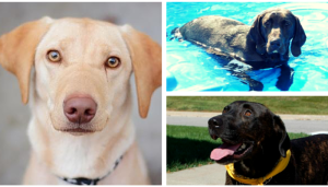 ten lovely adoptable labs