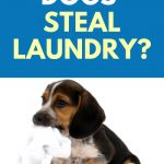 Why do dogs steal laundry?