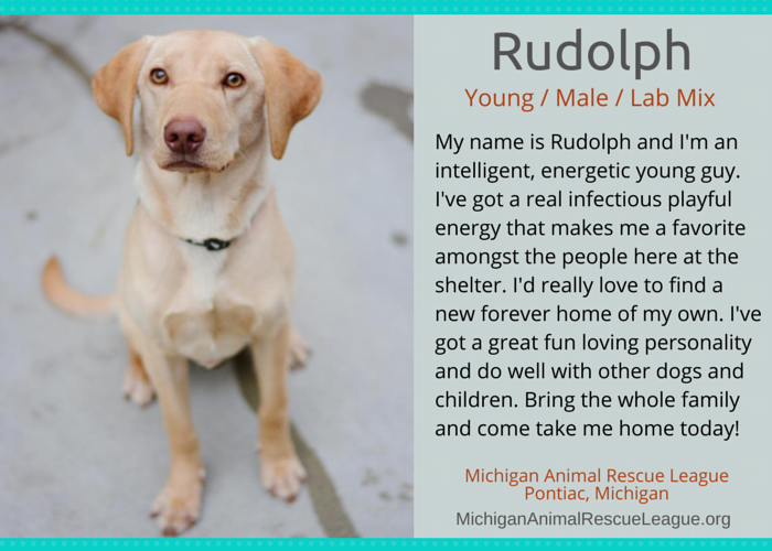 adoptable young lab