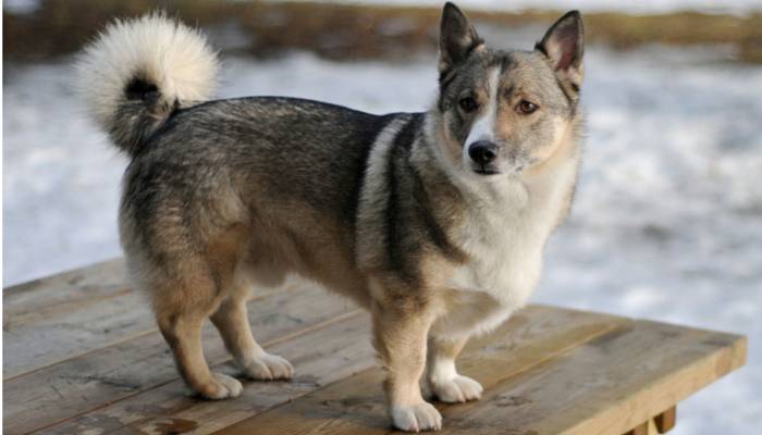 swedish vallhund blindness