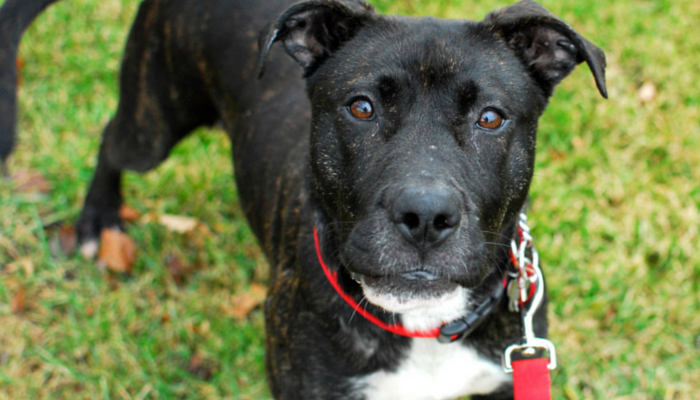 Adopt Noel - A Sweet Young Female Pit Bull Terrier Mix in Detroit