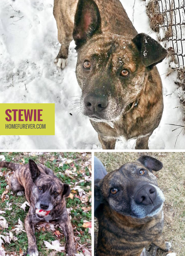 Stewie is a 3 Year Old Male Shepherd MIx Adoptable in Detroit