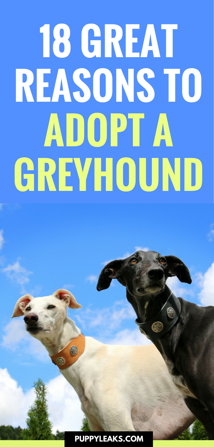Looking for a laid back dog breed? Want a dog that's perfect for apartments? A Greyhound might be the right dog for you. Here's 18 excellent reasons to adopt a Greyhound. #dogs #dogadoption #dogrescue