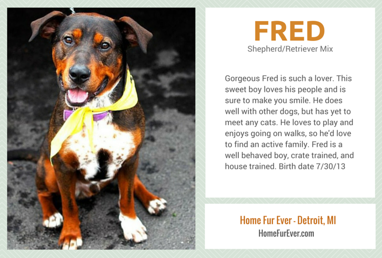 Adopt Fred - A Lovely Shepherd Mix From Detroit