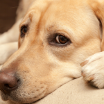 The Risks of Using Ace as a Sedative for Fearful Dogs