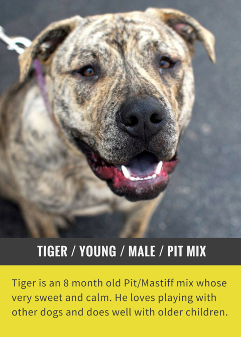 Tiger is a calm & sweet adoptable dog