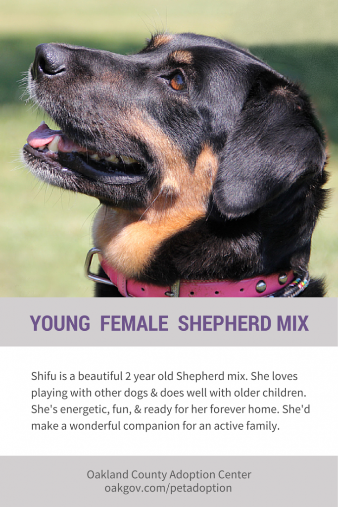 Shifu the beautiful young Shepherd mix
