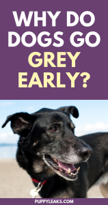 why do dogs go grey early
