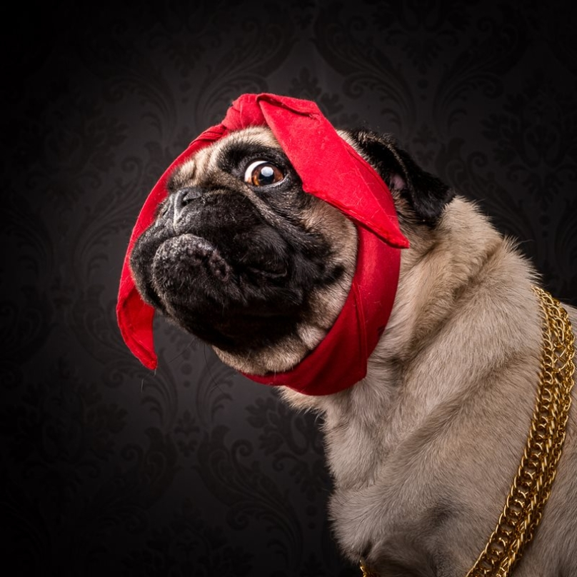 pugs dressed as rappers