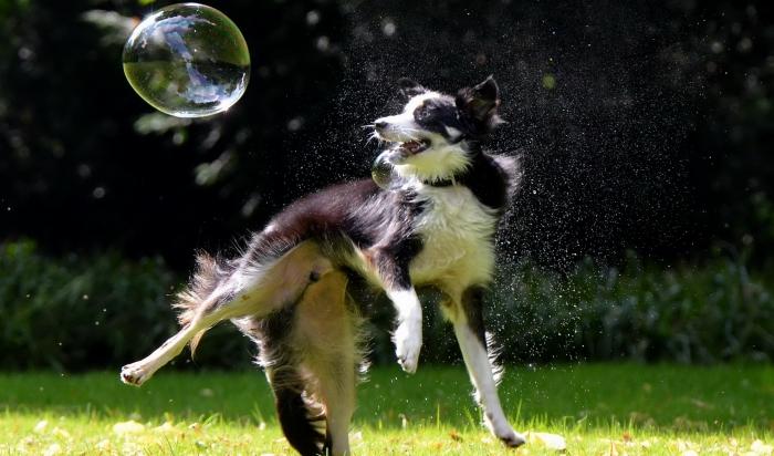 Les chiens aiment chasser les bulles