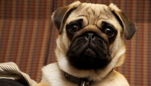 Dogs Exhibit Jealoust Just Like Humans
