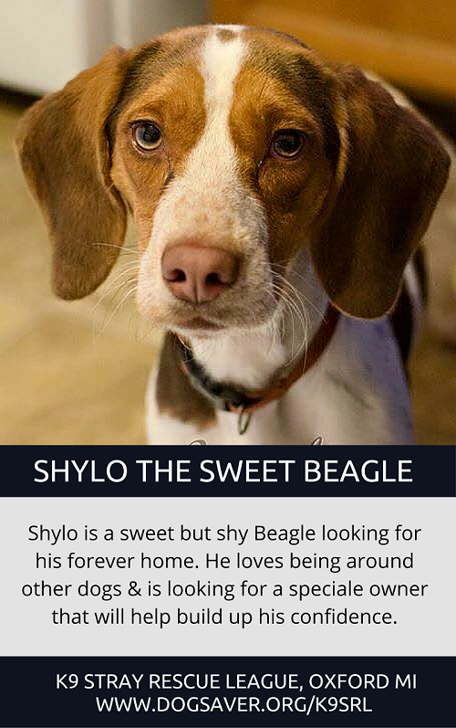 Male Beagle adoptable in Michigan