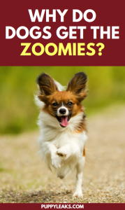 Why Do Dogs Get The Zoomies?
