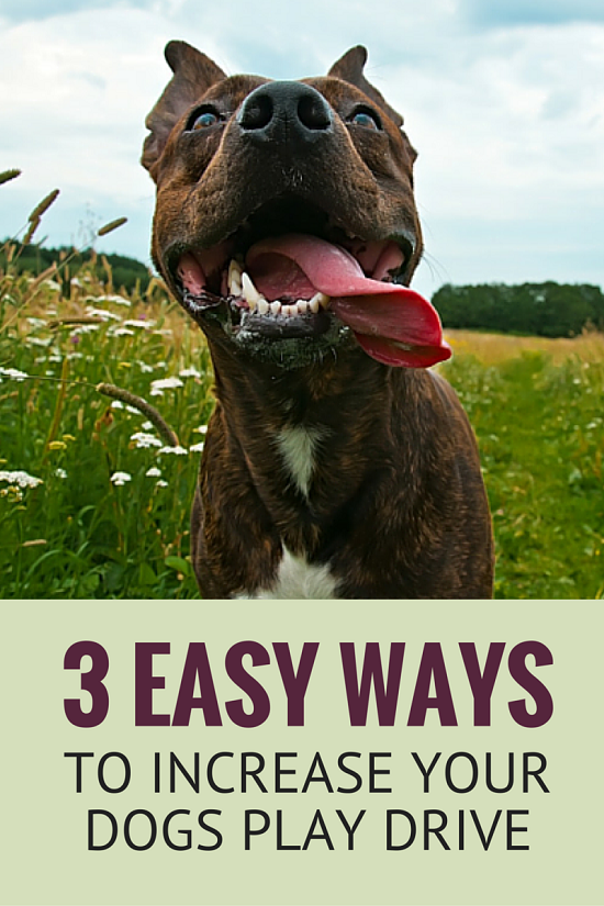 3 Easy Ways to Increase Your Dogs Play Drive