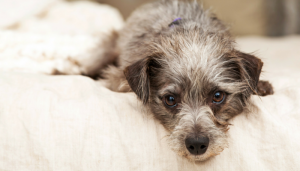 How to Keep Your Arthritic Dog Comfortable